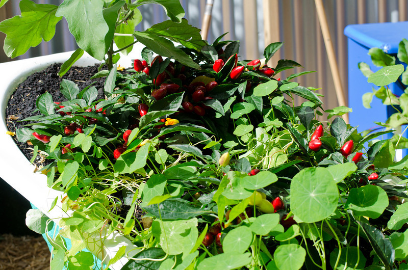 Everyone has a bathtub full of chillies in their garden, right?<br /> Flower Show, Carlton Gardens, March 2012