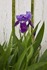 Purple Bearded Iris, Phelps County, Missouri