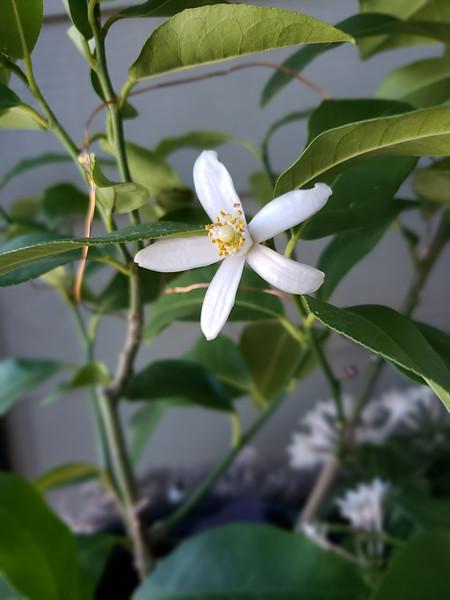 Dwarf Eureka Lemon Blossom