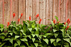 Canna Lilies and Weathered Wood, Chickasaw County, Iowa