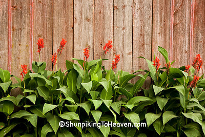 Canna Lilies and Weathered Wood, Chickasaw County, Iowa