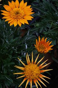 Flowers in Development