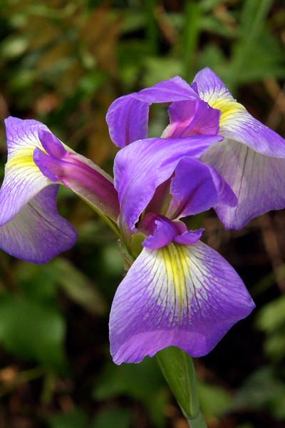 Bue flag iris