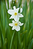 Daffodils, Buffalo National River Area, Newton County, Arkansas