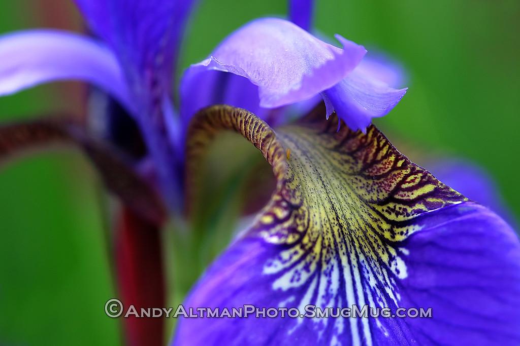 Siberian Iris (2)