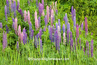 Lupine, Lake County, Minnesota