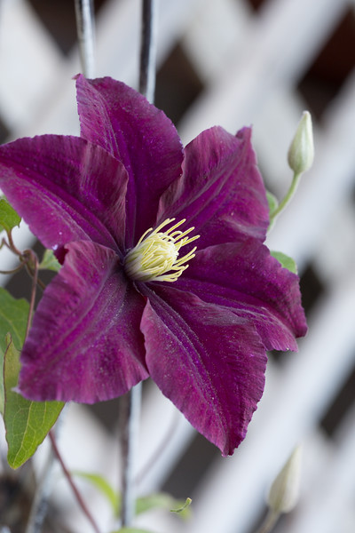 A Nike clematis flower.