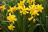 Daffodils, Dane County, Wisconsin