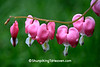 Bleeding Hearts, Dane County, Wisconsin
