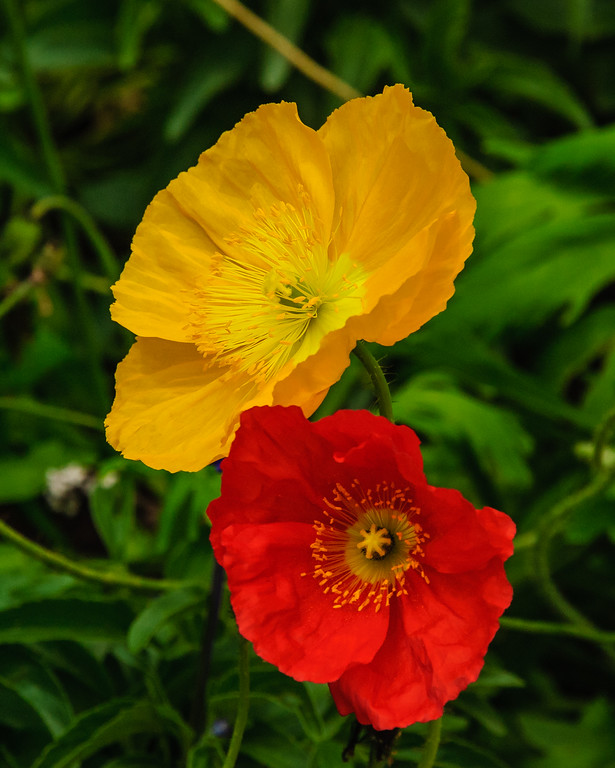 Poppies - Vail, CO