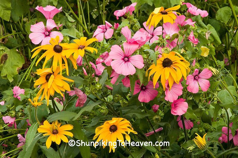 Mallow and Black-Eyed Susan, Monroe County, Wisconsin