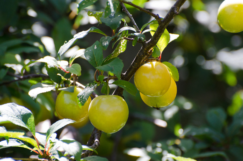 Plums, anyone?<br /> Back yard, December 2011