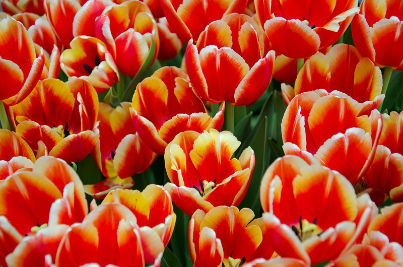 Can't have a garden show without tulips...