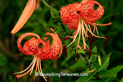Old-fashioned Tiger Lilies, Dane County, Wisconsin