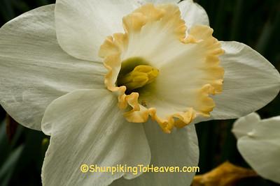 Spring Daffodil, Richland County, Wisconsin