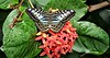 Marble Buttterflyon  Resting on a Chinese Ixora  Blossom