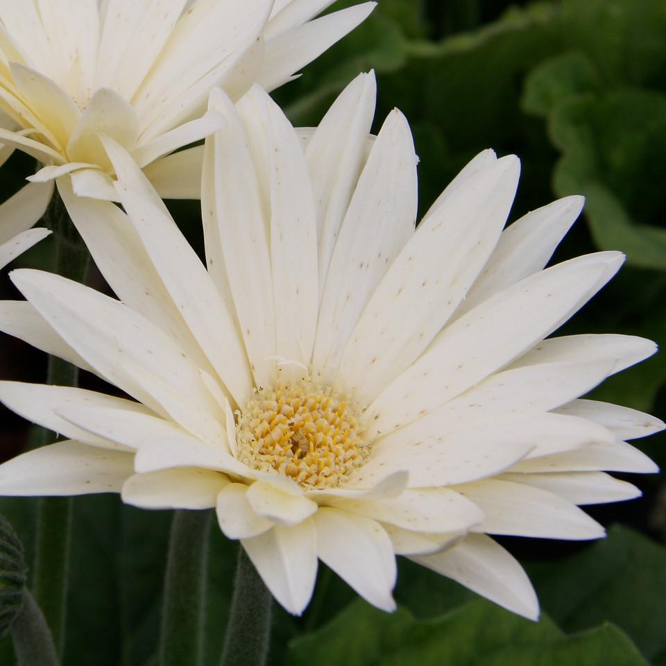 White Shasta