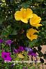 Yellow Hibiscus and Petunias, Columbia County, Wisconsin