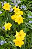Spring Daffodils, Dane County, Wisconsin