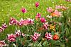 Tulips, Clark County, Illinois