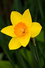 Spring Daffodil, Dane County, Wisconsin