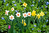 Spring Daffodils and Virginia Bluebells, Dane County, Wisconsin