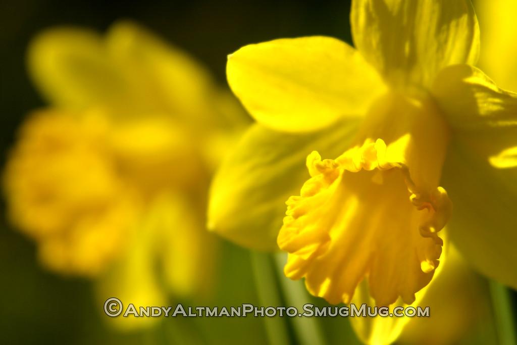 Yellow Daffodil (1)