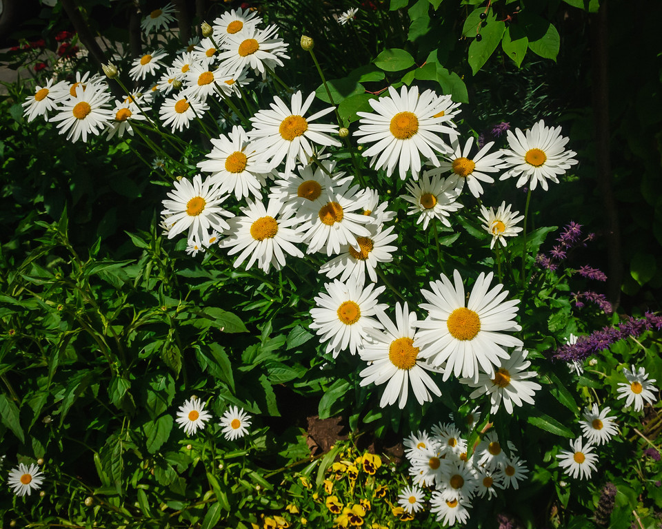 Daisies - Vail, CO