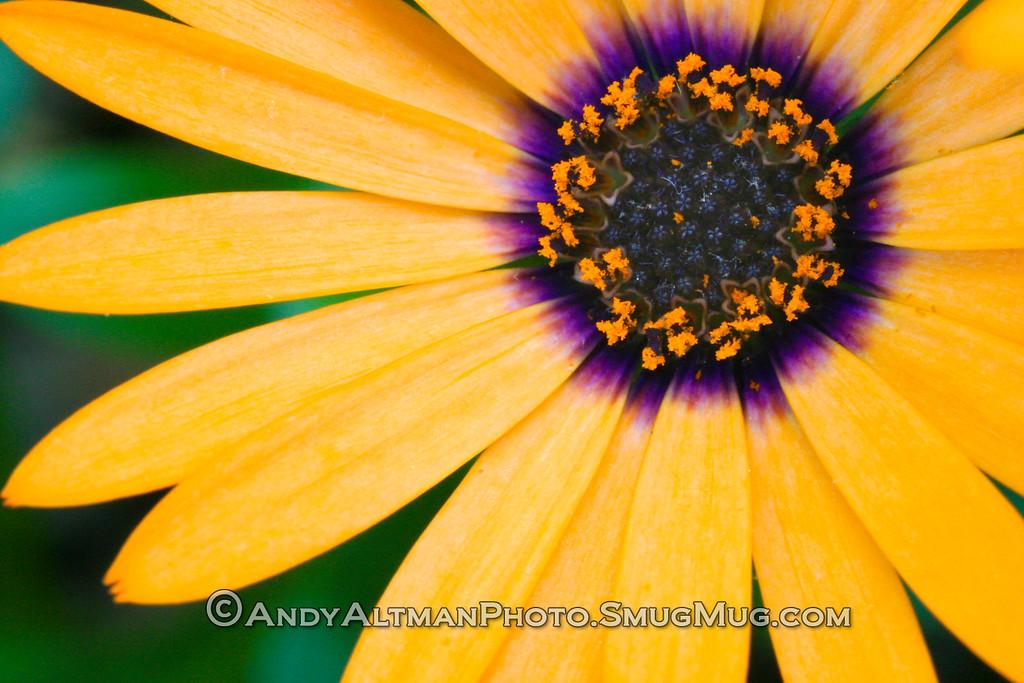 Orange Cape Daisy