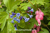 Virginia Bluebells and Bleeding Hearts, Dane County, Wisconsin