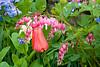 Bleeding Hearts, Bluebells, and Tulip, Dane County, Wisconsin