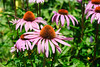 Coneflowers at PEI Preserve Co. Garden of Hope