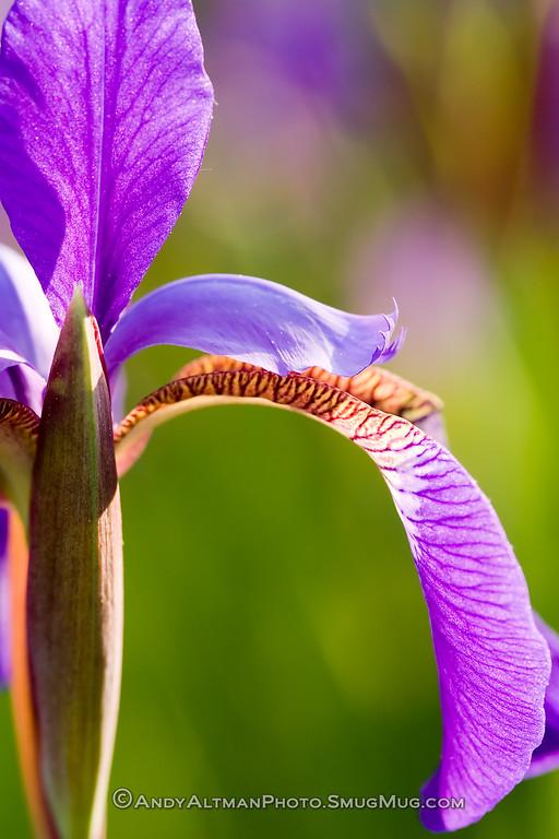 Siberian Iris (5)