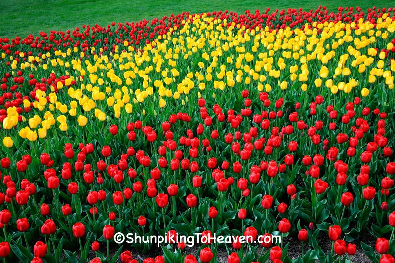 Star-Spangled Tulips, Madison, Wisconsin