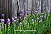 Purple Irises Against Weathered Wood, Fleming County, Kentucky