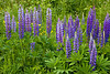 Lupine, Cascade River State Park, Cook County, Minnesota