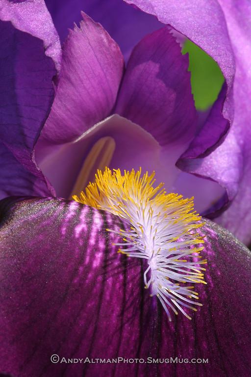 Bearded Iris (1)