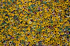 A wall of sunflowers