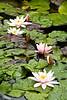 Water Lilies, Dane County, Wisconsin