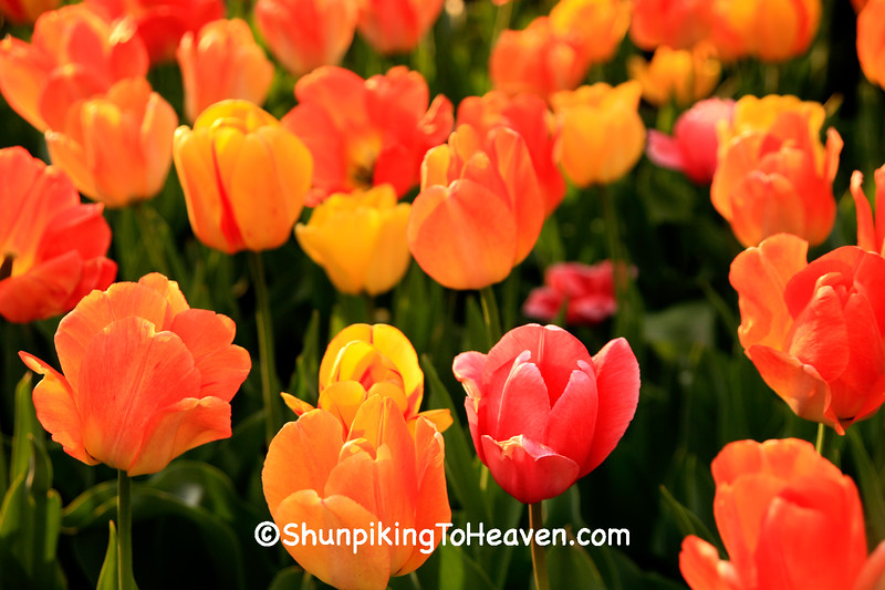 Spring Tulips at the State Capitol, Madison, Wisconsin