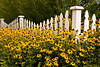 Black Eyed Susan and Picket Fence, Rock County, Wisconsin