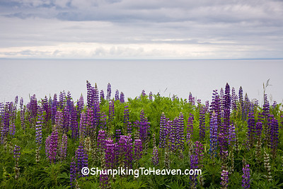 Lupine, St. Louis County, Minnesota