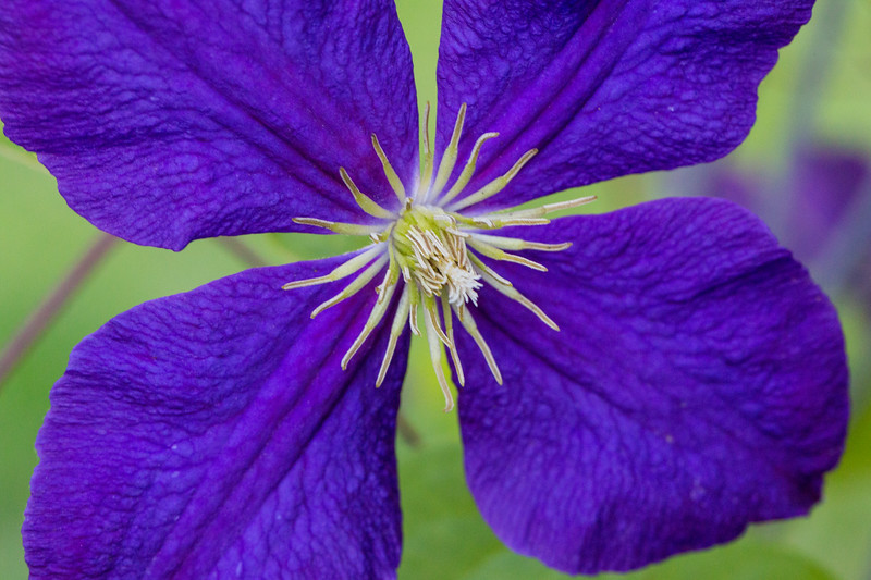 Clematis blossom.