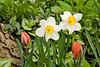 Daffodils and Tulips, Dane County, Wisconsin