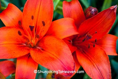 Lilies, Dane County, Wisconsin