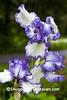 "German Bearded Iris ""Rare Treat"", Dane County, Wisconsin"