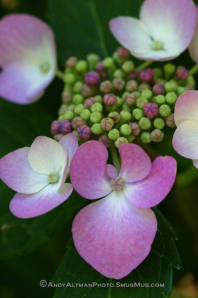 Pink Lacecap Hydrangea #2