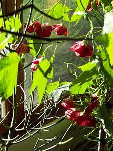 Mama's Flowering Maple