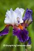 "Bearded Iris ""Sharpshooter"", Dane County, Wisconsin"