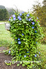 Mailbox and Morning Glories, Richland County, Wisconsin